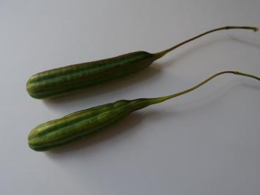 Pfeifenwinde Giftig initiative baum aristolochia macrophylla pfeifenwinde